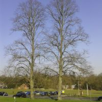 Leyton Road twin Lime trees (March), Харпенден