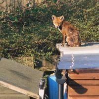 Suburban Fox, Хейвардс-Хит