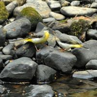 Mother and chick. Grey Wagtails, Хиндли