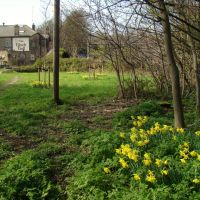 Edge of woodland daffodils looking towards The Black Bull, Ecclesfield, Sheffield S35, Чапелтаун