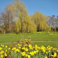 Daffodils and trees, Chapeltown Park, Sheffield S35, Чапелтаун