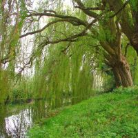 Willows on River Chelmer, Chelmsford, Челмсфорд
