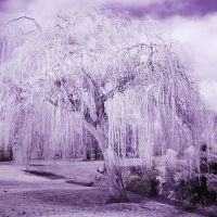 Weeping Willow, Честер