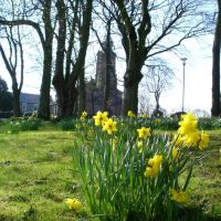 Daffodils at St. Gregorys Church, Чорли
