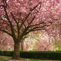 Pink flowering Cherry Blossom trees in Abbeyfield Park, Pitsmoor, Sheffield S4, Шеффилд