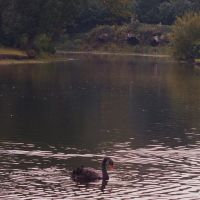 Swan Lake, Claremont Landscape Gardens,Esher Surrey, Эшер