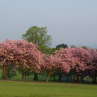 Cherry Blossom, Баллимена