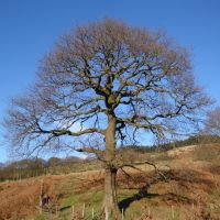 Oak Tree, Порт Талбот
