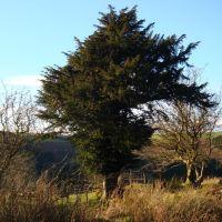 Yew Tree., Порт Талбот