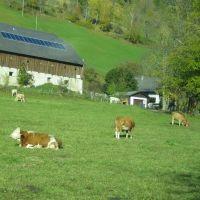 glückliche Kühe in Kärnten, Виллач