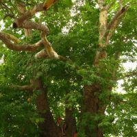 Nagorno-Karabakh Republic, 2000-years plane tree near Skhtorashen village   Нагорно-Карабахская республика, 2000-летний платан неподалёку от деревни Схторашен, Дальмамедли