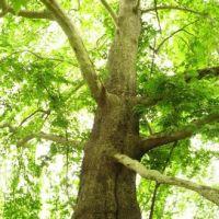 Nagorno-Karabakh Republic, giant plane tree near spring in Tyak village | Нагорно-Карабахская республика, огромный платан рядом с родником в деревне Тяк, Казах