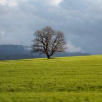 дерево, Кировск