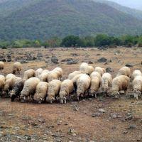 Sheep, Белоканы