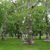 Különleges fák a parkban., Кечкемет