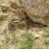 Кобра отлеживается в тени ( Фирюзинское ущелье), Безмеин