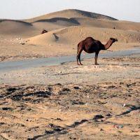 Camel Enjoys a Scorching Hot Day (Karakum Desert, Turkmenistan), Геок-Тепе
