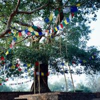 Ananda Bodhi Tree, Jedavan 祇園精舍阿難菩提樹, Кара-Кала