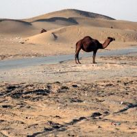 Camel Enjoys a Scorching Hot Day (Karakum Desert, Turkmenistan), Кум-Даг