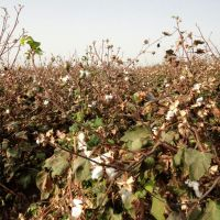 Way Down Yonder in the Land of Cotton... (Mary, Turkmenistan), Захмет