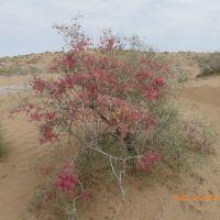 Весна в пустыне - саксаул цветет, Захмет