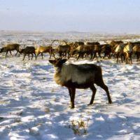 Oleni (Reindeer), Кушка