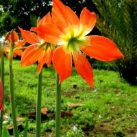 Flower - NT, Пхан-Тхит