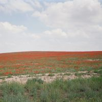 Kyzyl-Kiya, road to Abshir, spring, poppy, Алтынкуль