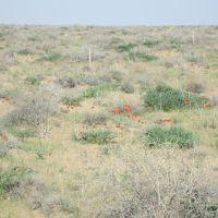 Тюльпаны в пустыне, Газли