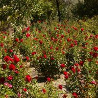 Roses from Buhara for SVETA, Галаасия