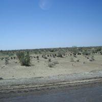 Désert Kizyl Koum   -  Uzbekistan, Каракуль
