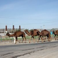 Camels on the road, Кунград