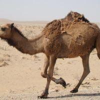 Camel, Касан