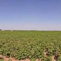 Cotton cultivation in the Fergana Valley, Uzbekistan., Алтыарык