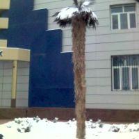 Пальма, Фергана