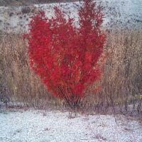 Красный куст, Амвросиевка