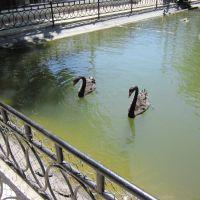 Черные лебеди, Докучаевск