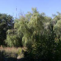 trees, Карло-Либкнехтовск