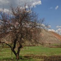 Дерево под терриконом шахты 29, Карло-Либкнехтовск