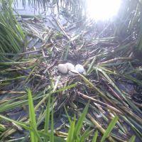Гнездо диких уток, Карло-Марксово