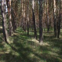 лес в Ямполе, Кировск