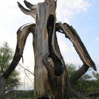 Дерево после попадания молнии, Кировск