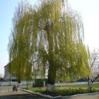 Дерево біля районної поліклініки, Андрушевка