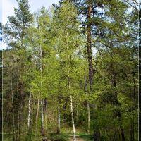 Лес в весеннем наряде / Forest in spring attire, Барановка
