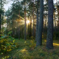 Утренний лес / Morning Forest, Барановка