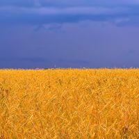Wheat field (Ukrainian flag), Быковка