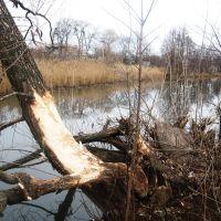 Бобры штурмуют бастионы, Володарск-Волынский