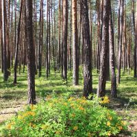 A bush of azalea pontica in the pine wood., Городница