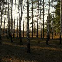 silver birch, Малин