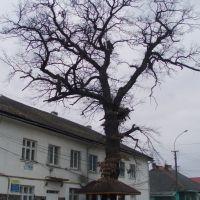 500-річний дуб, Межгорье